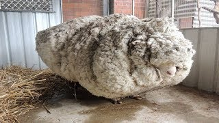 Hikers Saw That This Neglected Sheep Could Barely Stand, So A Shelter Begged For Experts To Save Him