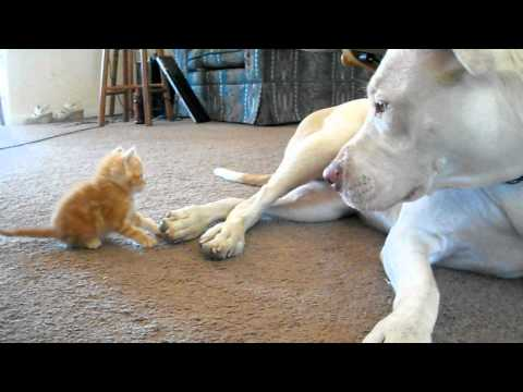 cute kitten with pitbull
