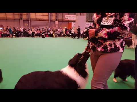 Border Collie Open Dog I.  Cruft