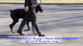 Doberman After Heel Lesson Off Leash K9 Training New Jersey