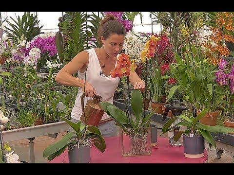Comment Bien Arroser Une Orchidee Phalaenopsis Youtube