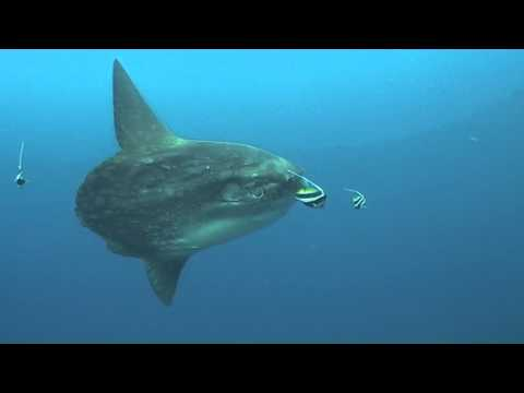 Sunfish - Moon Fish -Mola Mola