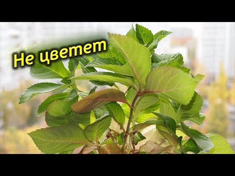 Как заставить гортензию цвести