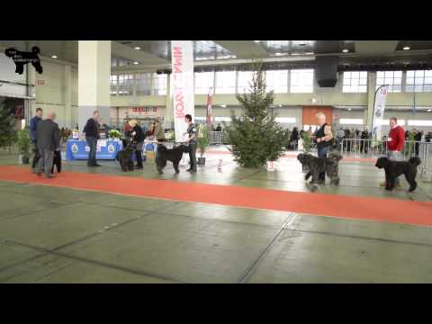 Bouvier des Flandres- Brussels Dog Show 2014