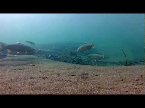 Adult Steelhead In The Russian River (HD)
