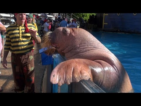Sea Lion, Walrus & Otter Trainer Meet & Greets - Clyde and Seamore Take Pirate Island