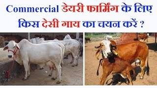 Dairy farming: Best Indian Milking Cow Breeds for Commercial Dairy Farming