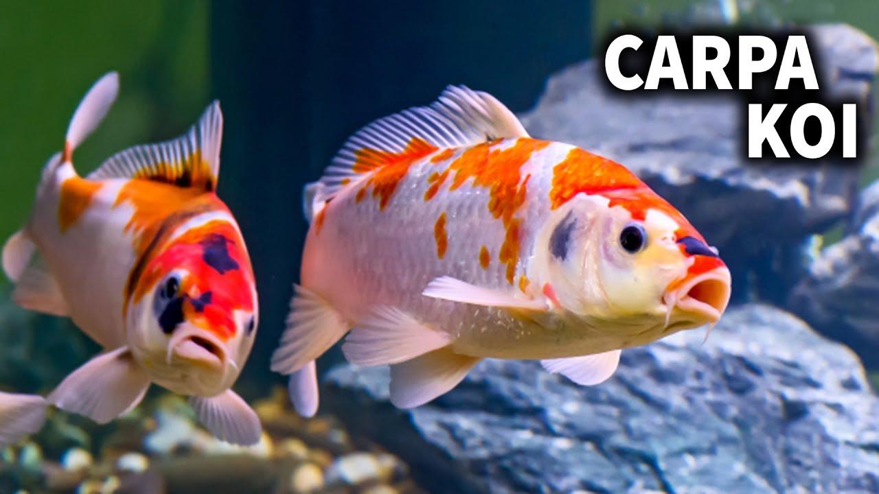 carpa koi cuidados y alimentacion de la carpa koi pez