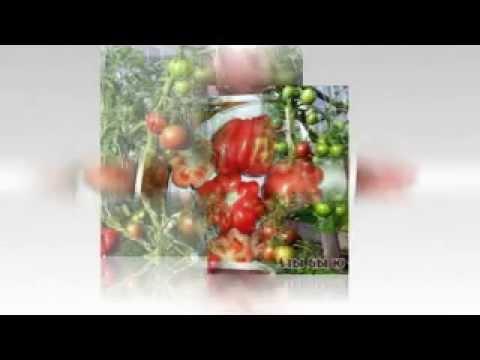 семена помидор каталог