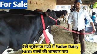 Yadav Dairy Farm    HF  Juberganjmandi yadavdairyfarm hf