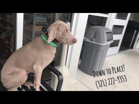 6 month old weimaraner 'madden'/ weimaraner trainers/best dog trainers orlando