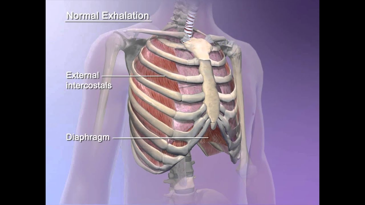 Learn@Visible Body - How the diaphragm helps breathing - YouTube