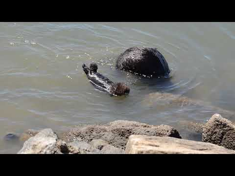 fluff baby sea otter crying for his mom who is busy foraging at Moss Landing beach