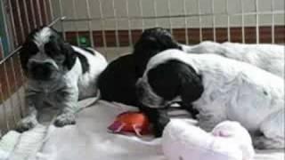 English Cocker Spaniel Puppies Age 3 Weeks