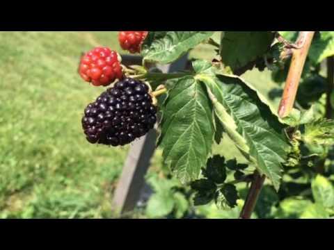 Threefold Farm near Mechanicsburg sells fig trees