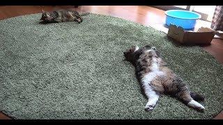 動くねこと動かないねこ。-Playing Hana and sleeping Maru.-