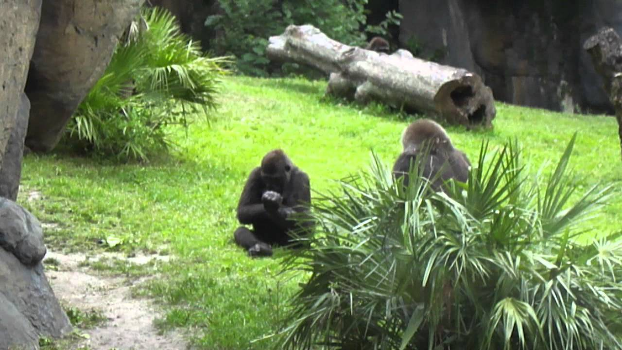 gorilla abuse youtube