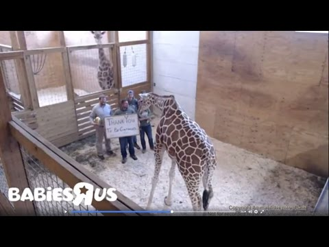 Thumbnail: Internet Sensation 'April The Giraffe' Live Stream Ends