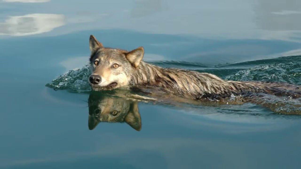 Coastal wolves 43
