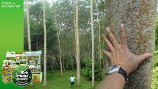 Pemupukan Yang Tepat Untuk Pohon Sengon - Mempercepat Masa Panen