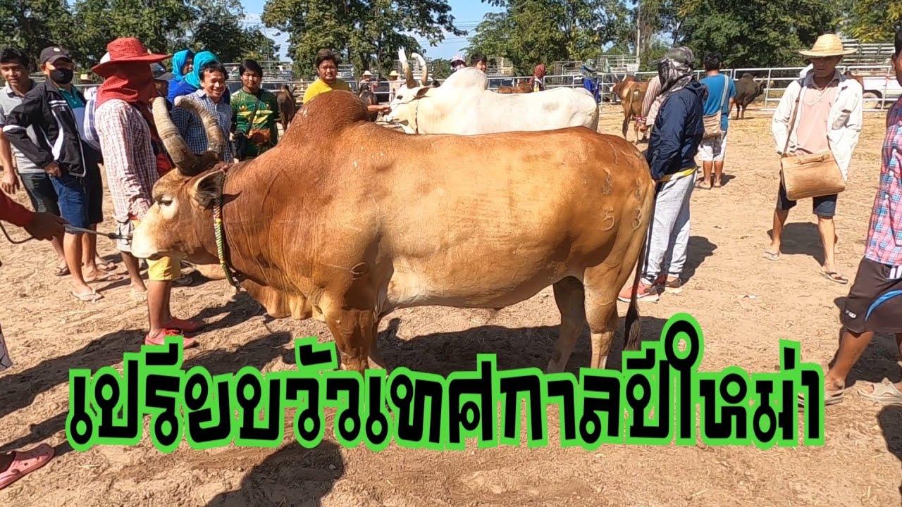 เปรียบวัวเทศกาลปีใหม่1