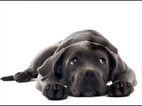 Cane Corso Puppies For Adoption Youtube