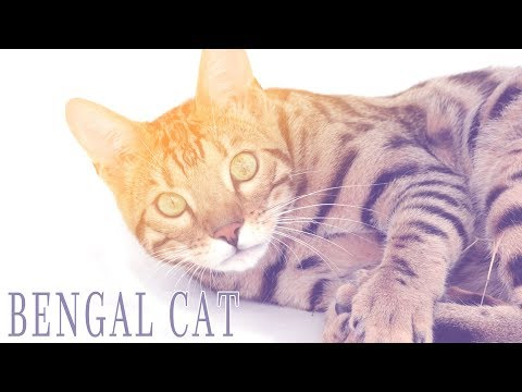 Ideal Companion: Bengal | Cat Breeding Videos