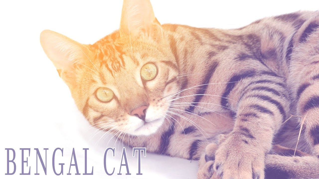 Ideal Companion: Bengal | Cat Breeding Videos