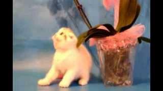 Продажа шотландской кошечки потенциально ШОУ-КЛАССА