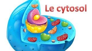 Le cytosol