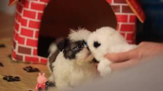 Эксклюзивные супер мини щенки ши-тцу
