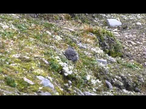 Adorable American Pika in Jasper National Park