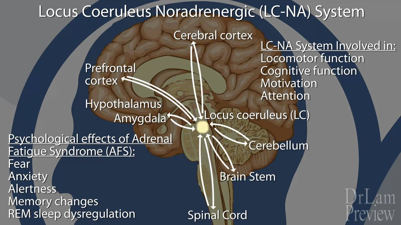 List of Synonyms and Antonyms of the Word: Locus Coeruleus