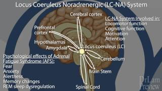 Preview of The Neuroendocrine Basis of Adrenal Fatigue Syndrome