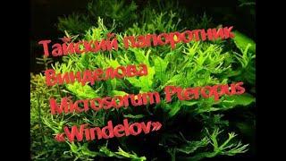 Папоротник Винделова Microsorum Pteropus «Windelov»