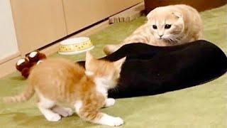 新入り猫に激突されそうになる短足猫がこちら