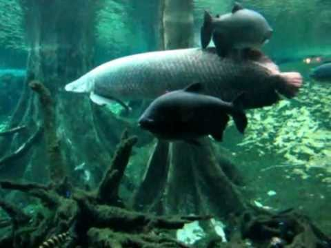 The amazonian aquarium in the CosmoCaixa: Science Museum in Barcelona 4