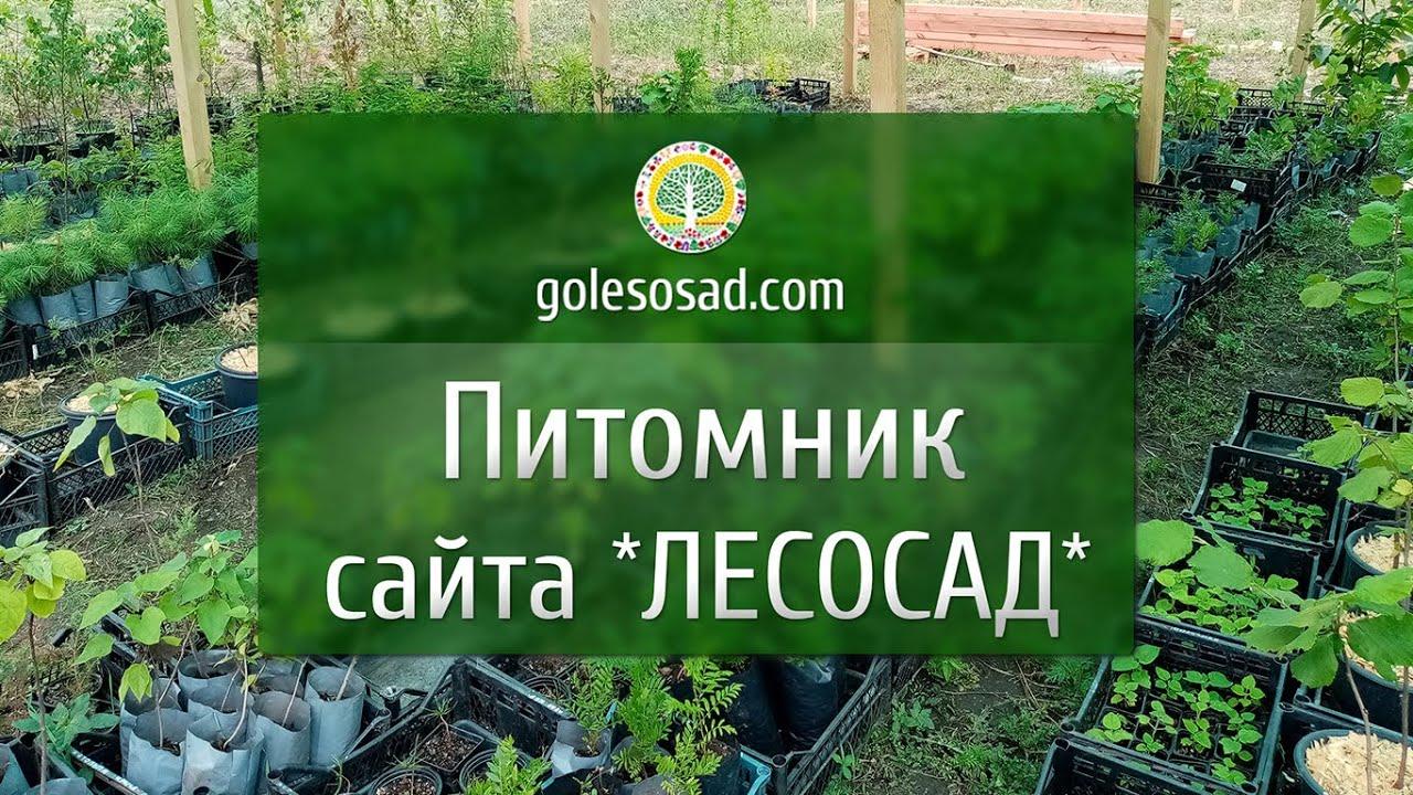 """Питомник нашего сайта """"Лесосад"""" golesosad.com"""