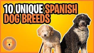 10 Unique Spanish Dog Breeds  Top 10