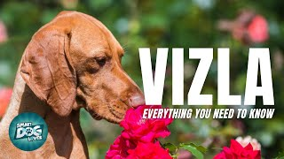 Vizsla Dog Breed Information  Are the Vizsla Affectionate as they are Protective? | Dogs 101Vizsla