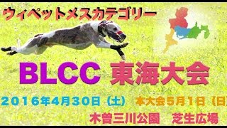2016年5月1日 BLCC 東海大会 ウィペットメスカテゴリー BLCCルア...