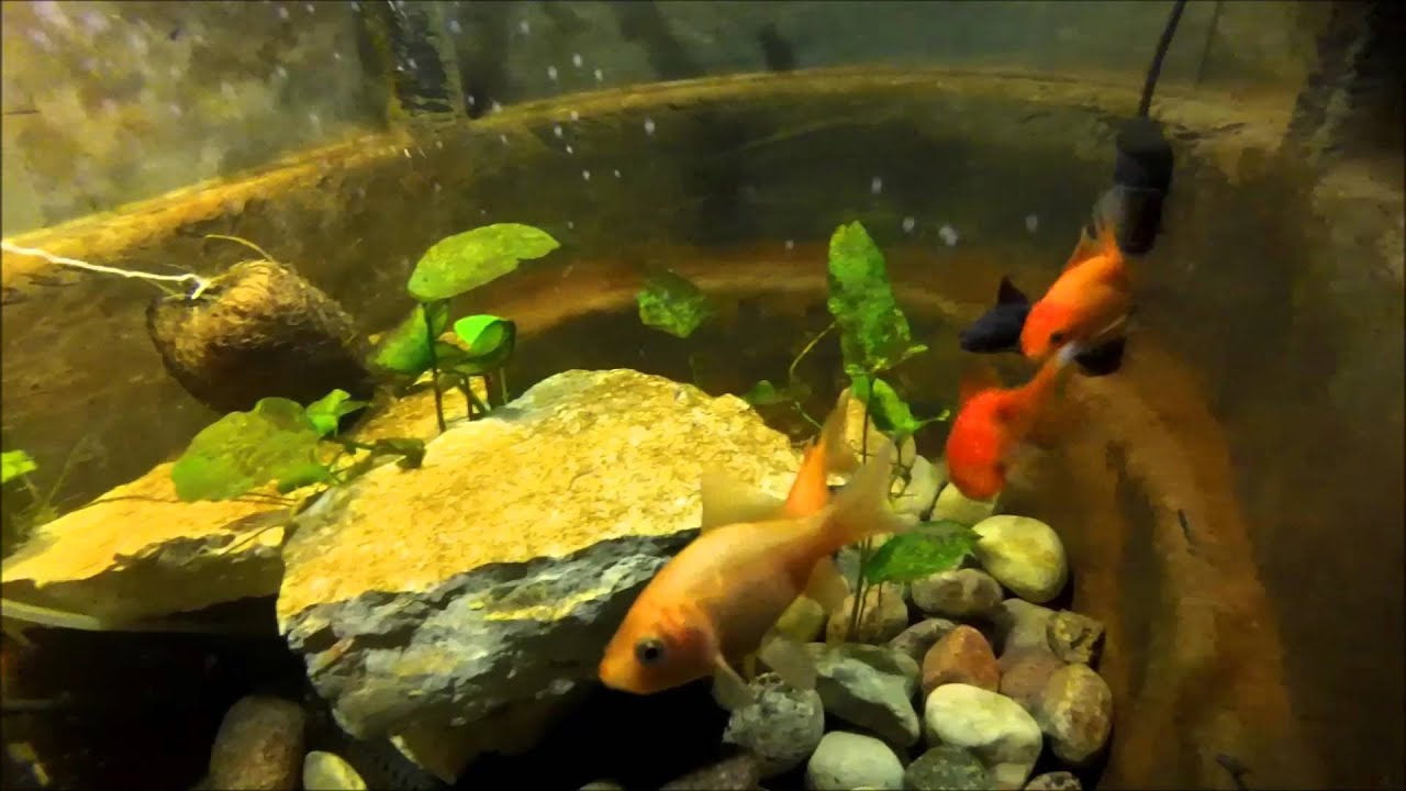 Goldfish In My Small Indoor Pond Youtube