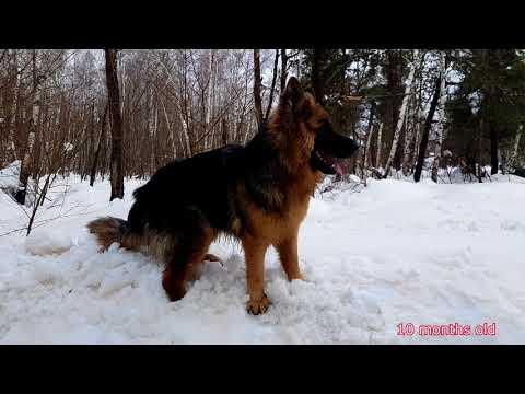Longcoat German Shepherd - Max - Growing Up (2 months - 1 year)