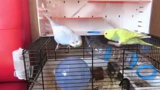 Попугай и хомяк. Можно ли содержать попугая и хомяка вместе #животные