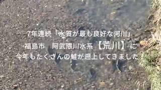 鮭の遡上(福島市荒川)