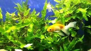 Аквариум на офисе золотая рыбка в травнике 2