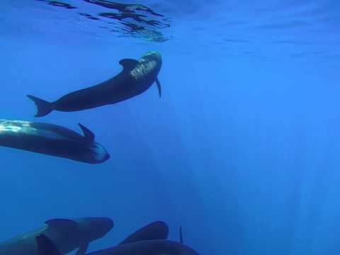 Pilot Whales communicating to each other