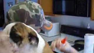 Puppy Ear Gluing