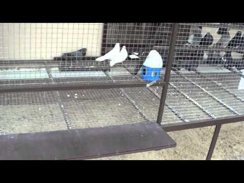Вольер племенной голубятни - 2