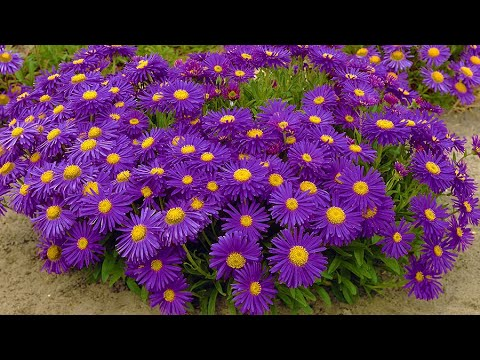 How To Plant Ground Cover Perennials, Ground Cover Flowering Plants
